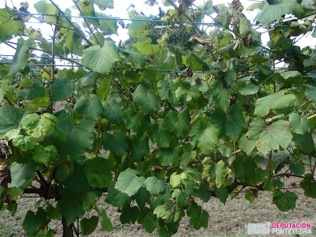 09ago17_Planta testemuña con follas por ser ano de pouco mildio.jpg