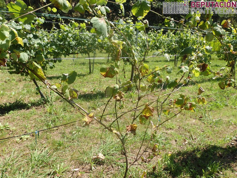 20200623_Evolucion perda follas en planta testemuña