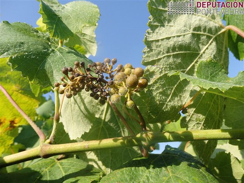 20200623_Mesmo acios soleados mildio en viñas moi afectadas