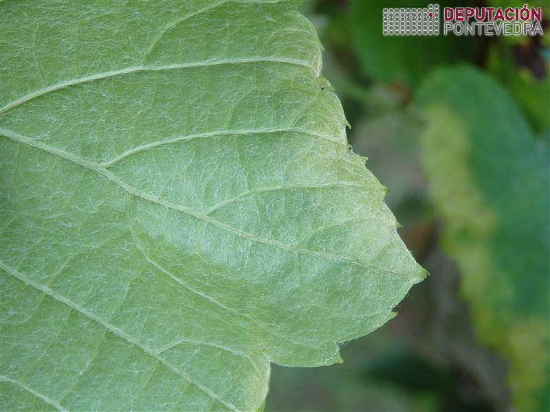 20200714_Folla planta testemuña mildiu_2 Enves sen frutificacion