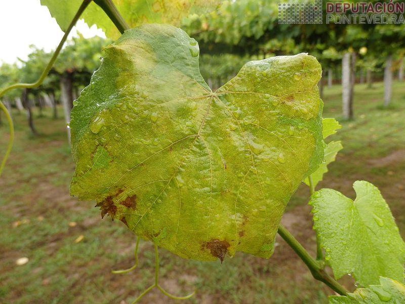 Algunhas follas estan completamente cubertas de sintoma mildio