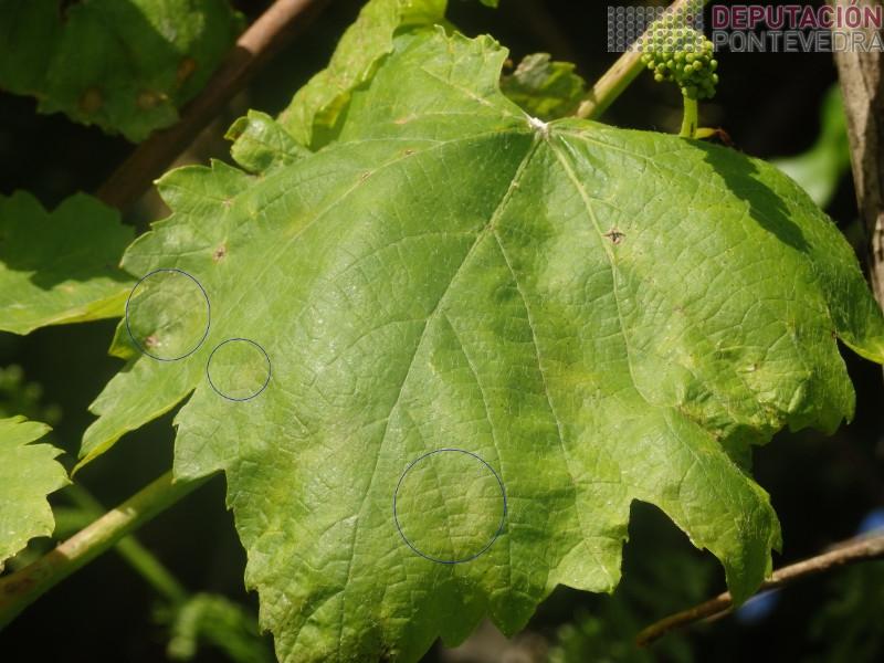 As manchas sinaladas son tres das moitas incipientes nesta folla