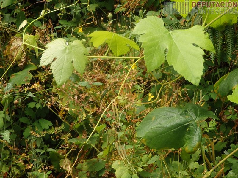 Gromo novo de viña abandonada libre de mildio