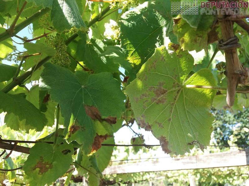 Manchas curadas en viña tratada