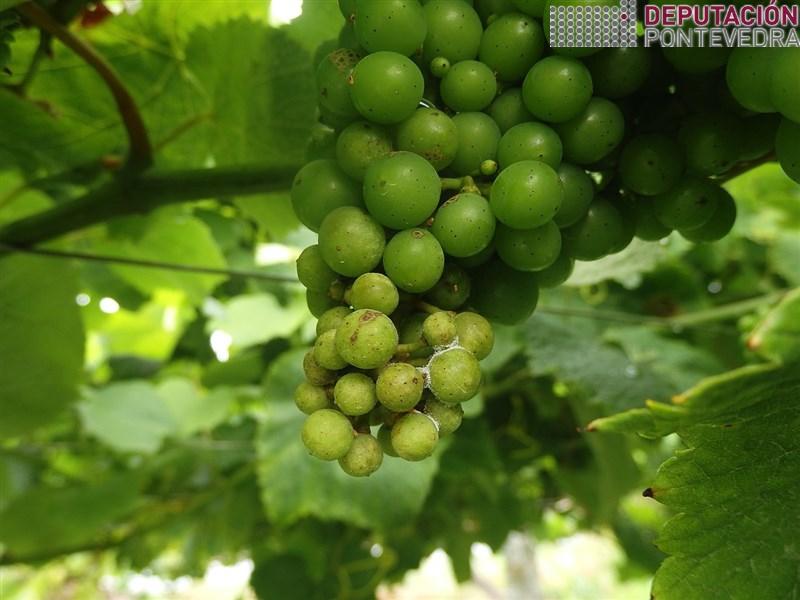 Moitas viñas puntos de mildio en acio con certa frutificación