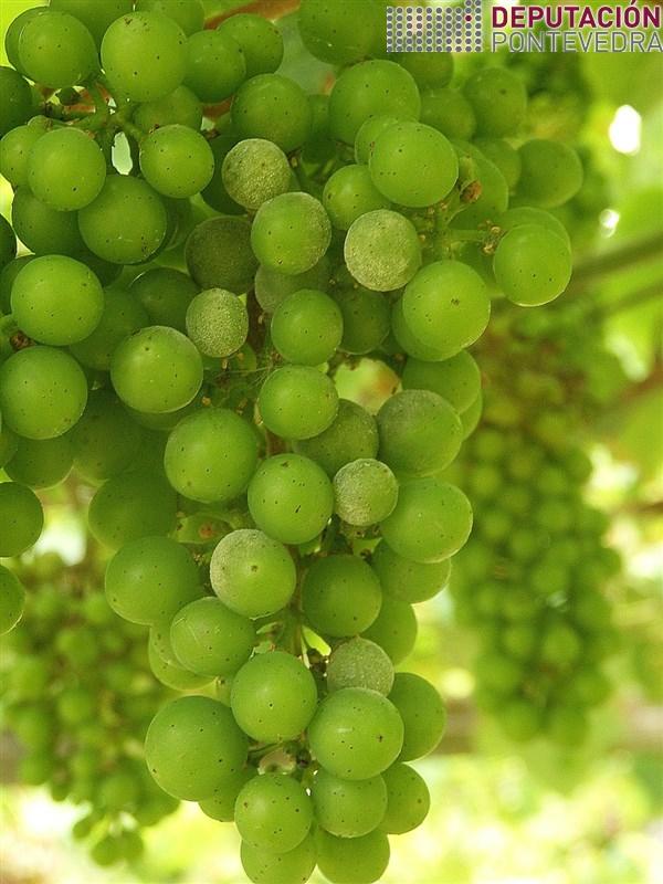 20200616_Oidio estendéndose nalgunha viña