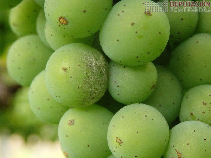 Hai pequenos puntos de oidio nalgunhas viñas