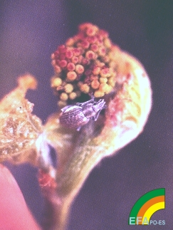 Cneorrhinus dispar (Pedroulo) - Adulto de pedroulo.jpg