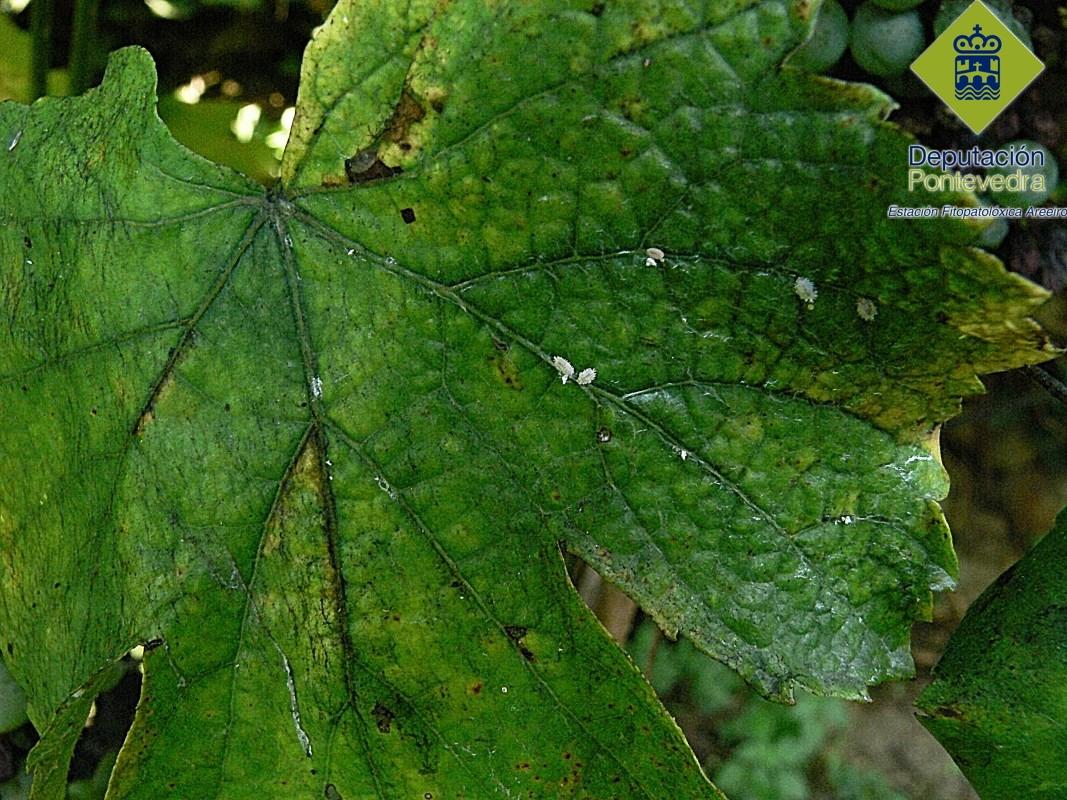 Hembras de Planococcus en hoja de viña y fumagina asociada.jpg