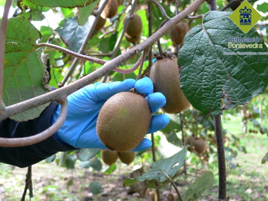 La recogida de los frutos debe realizarse cuidadosamente.jpg