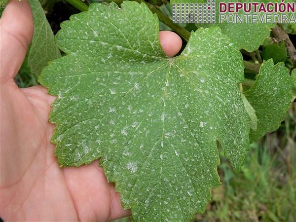 1_Cara superior de folla con gotas de fitosanitario.jpg