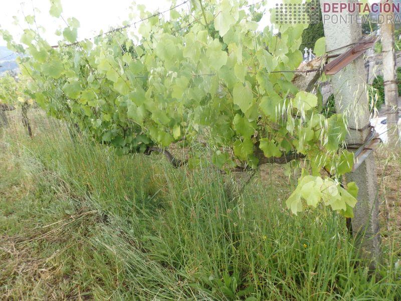 Imprescindible herba non chegue viña