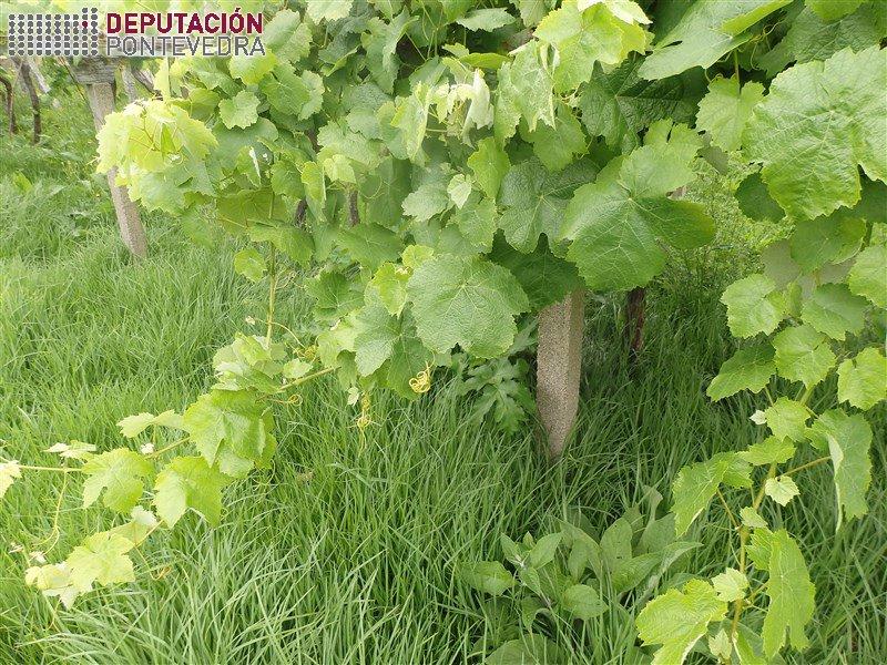 A alta vexetación do solo dificulta aireación viñas