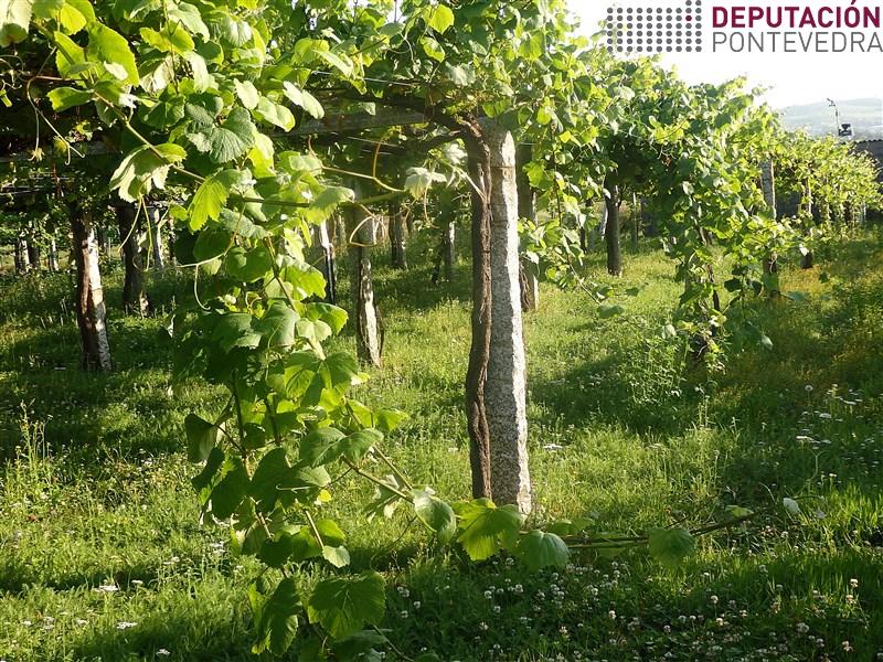 Eliminar pampos cara o solo reduce condicións favorables enfermidades