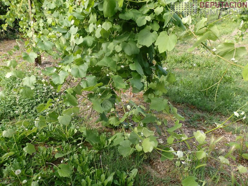 Excesivo crecemento cara terreo perxudica sanidade viña