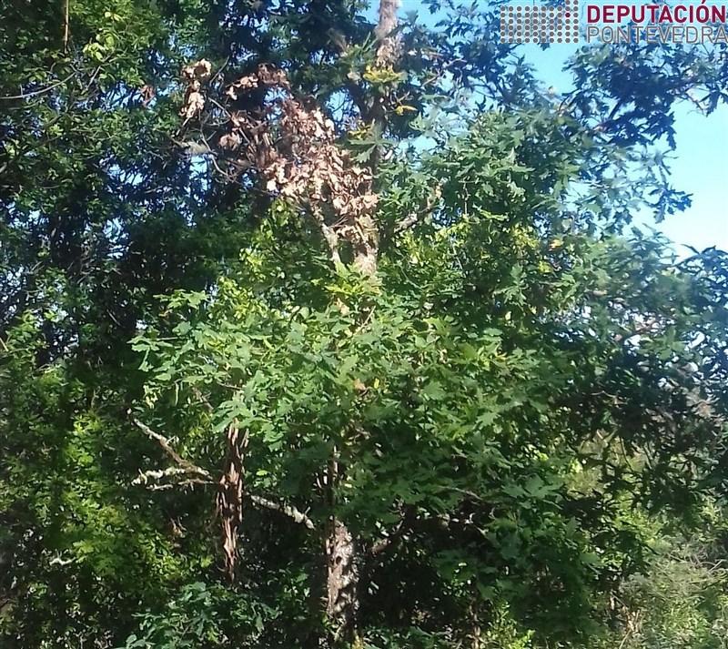 As follas secas quedan na arbore un tempo antes de cair.jpg
