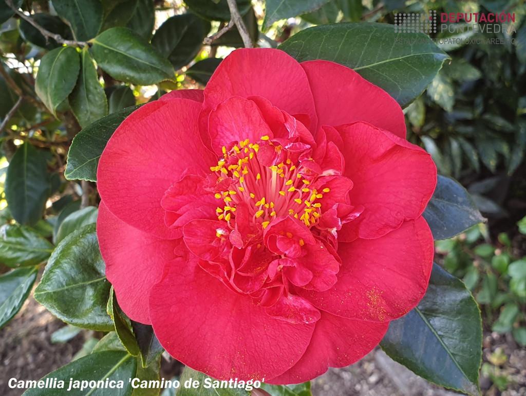 C_japonica_Camino_de_Santiago-cn.jpg