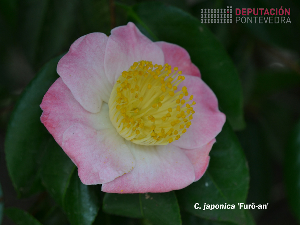 CjaponicaFuro-an-cn.jpg